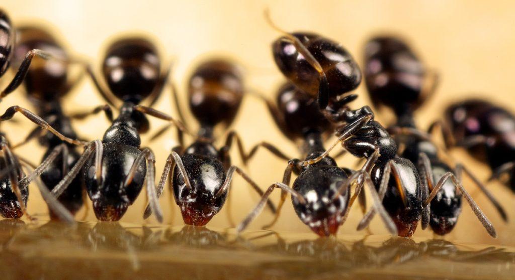 likwidacja mrówek