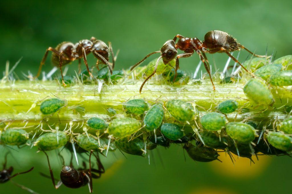 zwalczanie i usuwanie mrówek